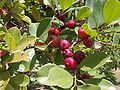 Erdbeerguave